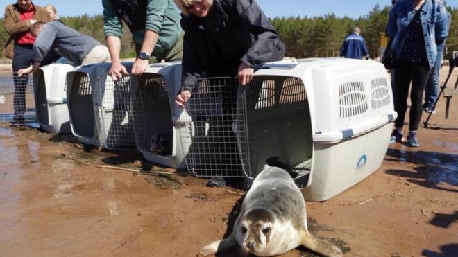 """""""Фонд балтийской нерпы"""" засек данные первого тюленя, выпущенного в залив с телеметрией"""
