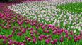 Фестиваль тюльпанов на Елагином острове вошел в десятку ...
