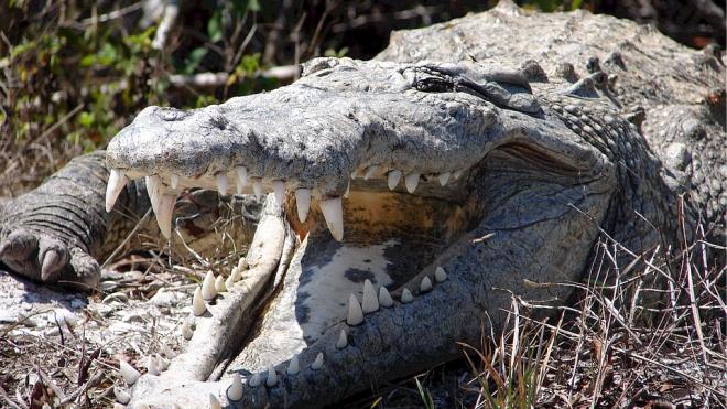 В Петергофе в подвале одного из домов нашли 2-метрового крокодила