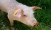 В Ленобласти уничтожили 21 тонну испанского свиного шпика