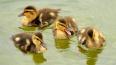 В Петербурге нашли новую семью осиротевшим утятам