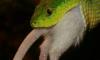 США воюют против змей отравленными мышами