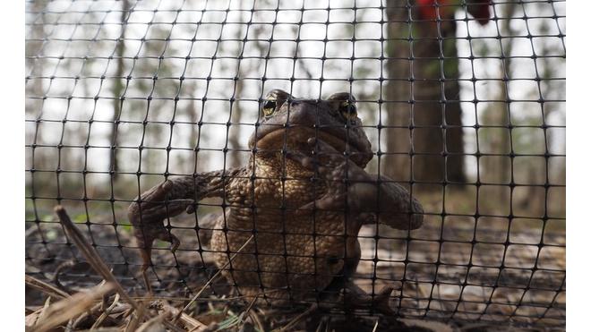 В Сестрорецке установили сетки для жаб-мигранток