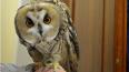 Краснокнижную ушастую сову изъяли у хозяина на Казанской ...