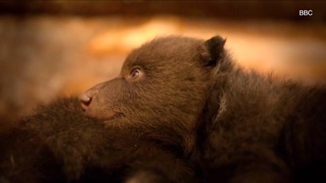 Британский оператор усыновил шесть бурых медвежат из России