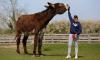 В Британии нашли осла Деррика ростом 170 сантиметров