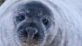 Около Солнечного петербуржцы нашли мертвого тюленя