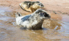 Петербургские волонтеры выпустили на волю трёх пухленьких тюленей