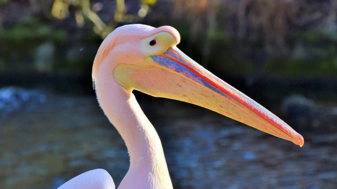 Под Петербургом заметили розового пеликана из Красной книги