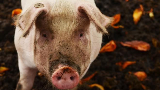 На Сахалине пьяный мужчина продал чужих свиней