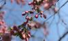 Сакура в Петербурге: где можно полюбоваться нежно-розовыми цветами