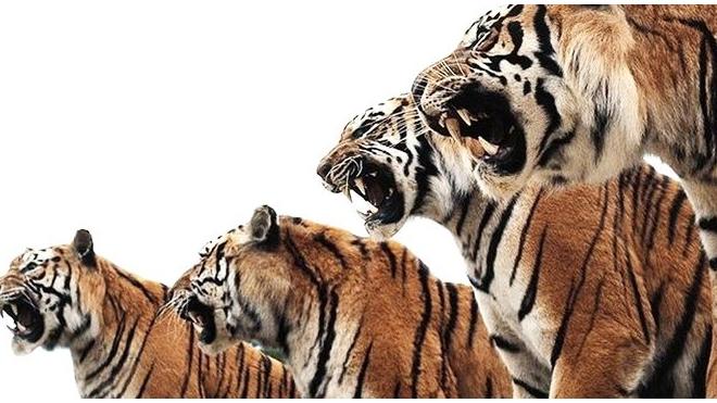 Тигры-мстители 5 дней осаждали дерево с 5-ю индонезийцами