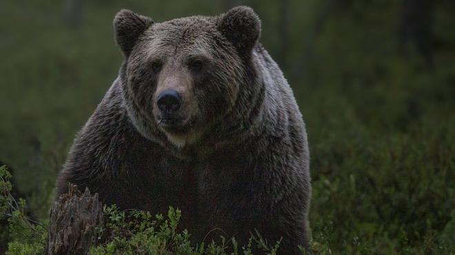 На Сахалине медведь растерзал женщину на глазах у очевидцев