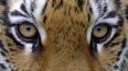В Приморье тигрица тяжело ранила стрелявшего в нее ...
