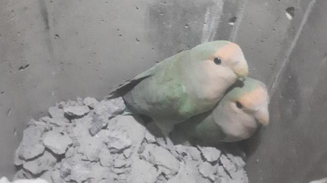 На проспекте Кузнецова спасли попугаев, просидевших в вентиляционной шахте двое суток
