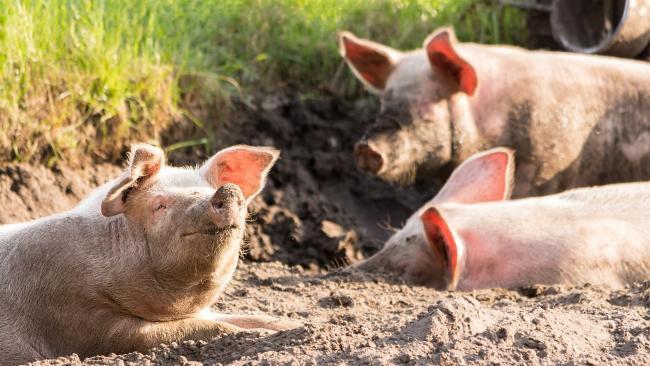Правительство решило поддержать аграриев, понесших ущерб от АЧС