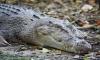 Крокодил утащил на дно подгулявшего на вечеринке австралийца