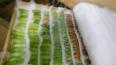 В Петербурге задержали 750 куколок тропических бабочек