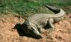 В Мурманске на циркового крокодила Федю упала бухгалтер весом 120 кг