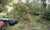 В Колпино дерево упало на припаркованные во дворе машины