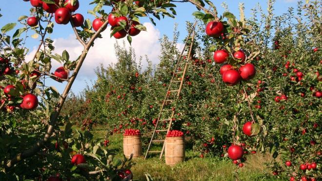 Российский диетолог перечислила полезные свойства яблок