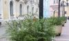Новогодний Петербург украсят 7 тысяч елей в вазонах