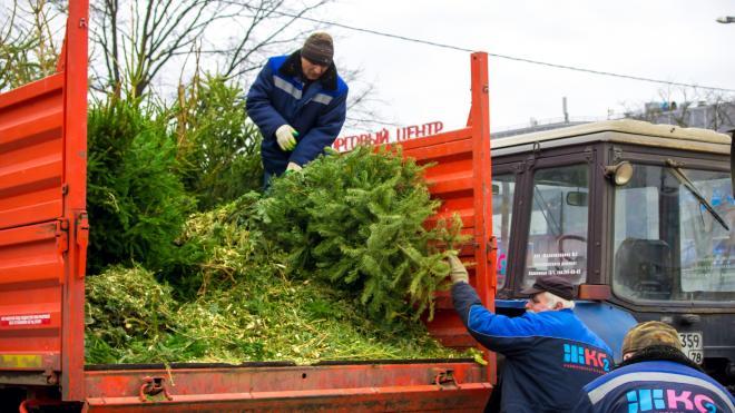 Петербуржцы могут сдать свои новогодние ели на переработку