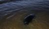 Осенний шторм выбрасывает тюленей на берег Финского залива