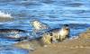 Тюлени могут стать новым символом Петербурга