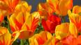 Фестиваль тюльпанов на Елагином острове пройдет в ...