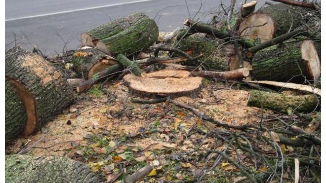 Петербуржцы: на Ветеранов, 37 незаконно рубят деревья!