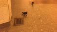 Петербургские голуби не могут выбраться из метро