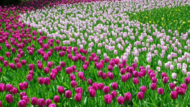 Фестиваль тюльпанов на Елагином острове вошел в десятку лучших в мире