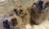 Спасенные в Петербурге совята могут мучительно умереть с голоду