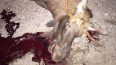 Два ДТП с лосями в Ленобласти: в одном погиб лось, ...