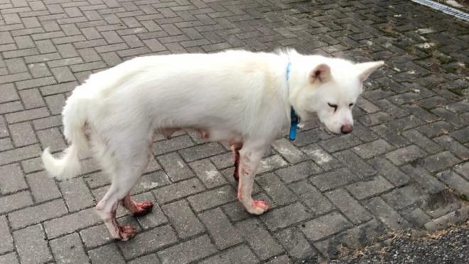 Под Петербургом ищут белую собаку с окровавленными лапами