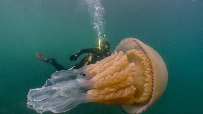 У берегов Англии дайверы сделали снимок медузы размером с человека