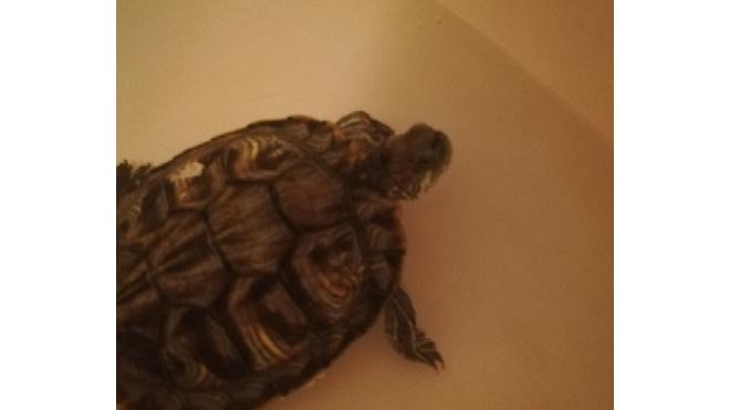 Петербурженка выходила из лифта и поскользнулась на черепахе