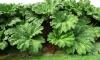 Борщевик окружил Петербург. Опасное растение появилось в Мурино, Кудрово и Буграх