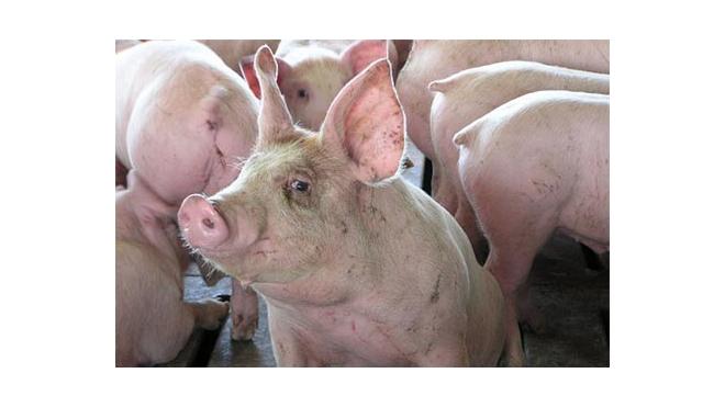 """Африканская чума свиней помешала рок-фестивалю """"Нашествие"""""""