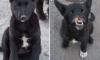 Опубликованы фото щенка с Хабаровска, которому живодеры отрезали нос