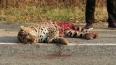 Любимый леопард Ильи Лагутенко погиб в чудовищном ДТП