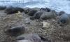 На Балтике заметили новорожденных детенышей серого тюленя