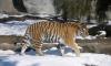В Великобритании тигр загрыз сотрудницу зоопарка