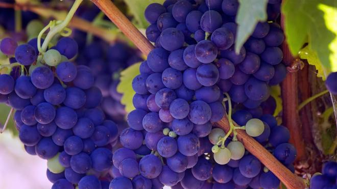 В Петербург не впустилипочти 20 тонн винограда с паразитами из Молдовы