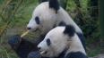 В Московском зоопарке поселятся две панды из Китая
