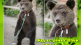 Петербуржцы спасли медвежонка из бродячего цирка