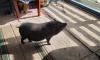 Петербуржцы ищут дом для мини-пига, которого едва не загрызли собаки