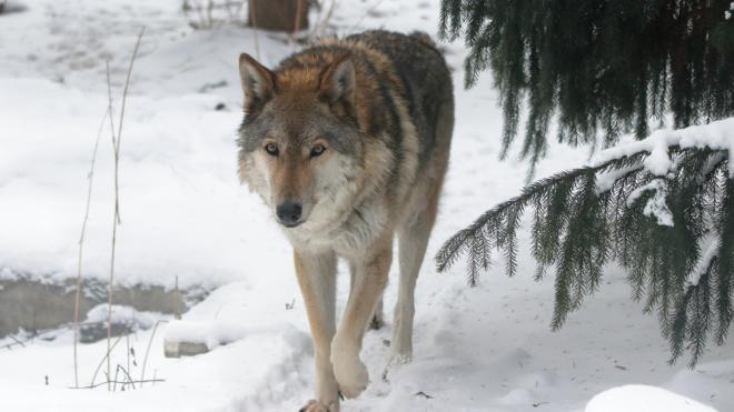 В Ленинградском зоопарке умерла волчица по кличке Тень