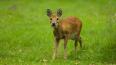 Фотоловушка в Приморье впервые сфотографировала оленя ...